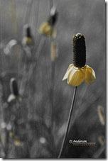 Wild Cone Flower c_HSL-Only Brown