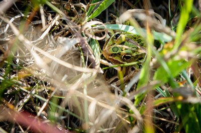 Frog in grass 1