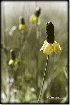 Wild Cone Flower