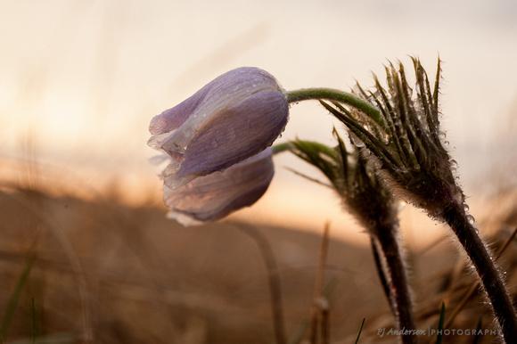 Pasque Flower after rainstorm