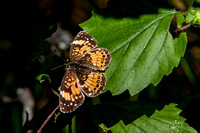 Harris Checkerspot