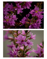 Purple Loosestrife Diptych