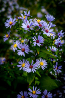 Smooth Aster Wildflowers