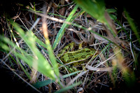 Frog in grass 3