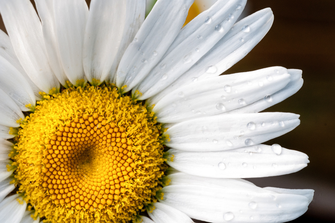 Daisy with dew - PJ Anderson Photography
