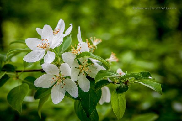 Blooms on Flowering Crab Tree