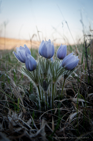 Clump of Pasque Flowers