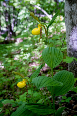 Large Yellow Lady's Slipper